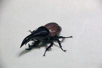 玻璃工艺品长鞘甲虫