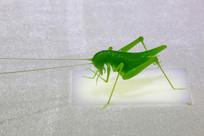玻璃工艺品绿色蟋蟀