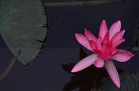 红色莲花特写图片
