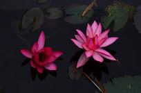 两朵红莲花朵图片