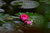 美丽的睡莲花