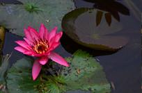 艳丽的睡莲花