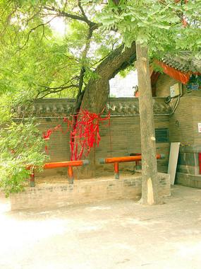 周公庙中的大槐树图片