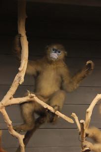 川金丝猴标本
