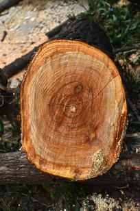 大树树轮图片
