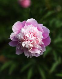 粉色芍药花