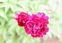 红色芍药花