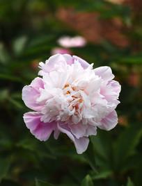 洁白的芍药花