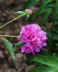 紫色芍药花