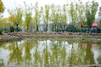 岸边的柳树和水面倒影