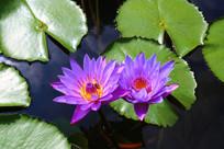 池塘里的俩朵睡莲