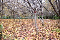 树林中的黄色落叶