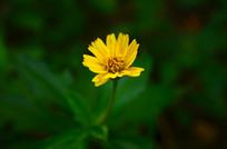 一朵黄色小野菊