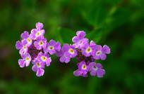 一株紫色小花特写图片