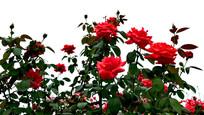 红色月季花高清图片