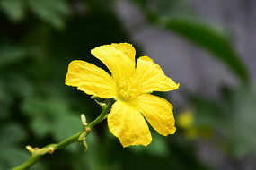 黄色的丝瓜花