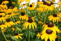 黄色的太阳花图片