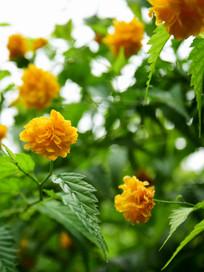 黄色野月季花图片