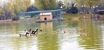 湖面上的鸭子
