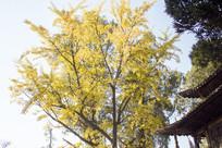 金黄色的银杏树