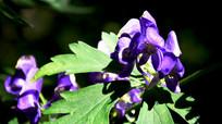 绿叶衬托的紫色花朵