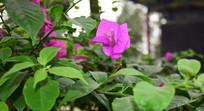 绿叶映衬的花朵