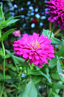 盛开的百日菊图片