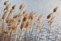 水边芦苇丛