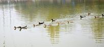 水面上游弋的鸭子