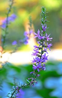 一串淡紫色的花朵