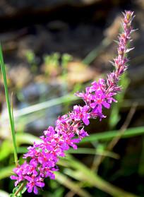 一串紫红色的花朵