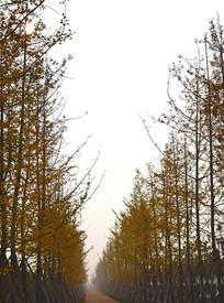 薄雾中的整齐树木