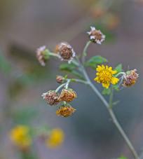 黄色小野花摄影图