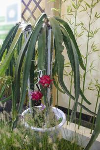 生态火龙果种植