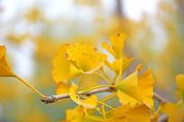 深秋的银杏树叶子