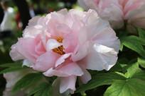 一朵粉红色的牡丹