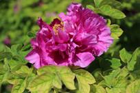 一朵阳光下的紫色牡丹花
