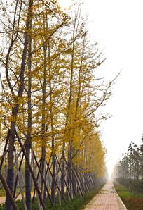 银杏树种植摄影图