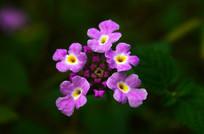 紫色小花特写图片