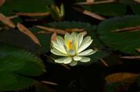 白色睡莲花朵特写图片