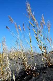 黑戈壁上的野草