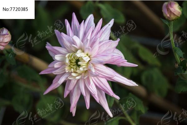 浅紫色的菊花