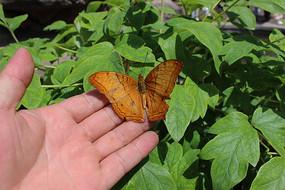 落在指尖上的黄蝴蝶