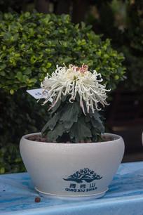 名贵菊花图