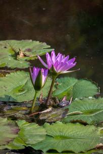 水中紫荷花