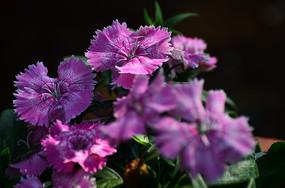 粉色石竹花