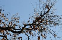 股树枝蓝天背景图片