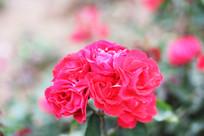 花园红月季