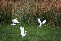 几只白鹭展翅