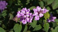 两朵紫色马樱丹